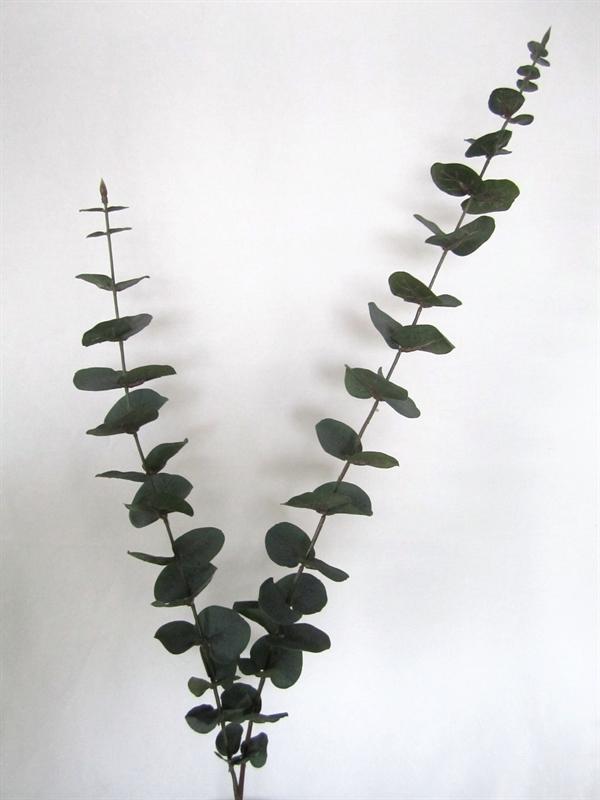 Svært Eucalyptus Længde 95 cm. Meget flot. CL-07